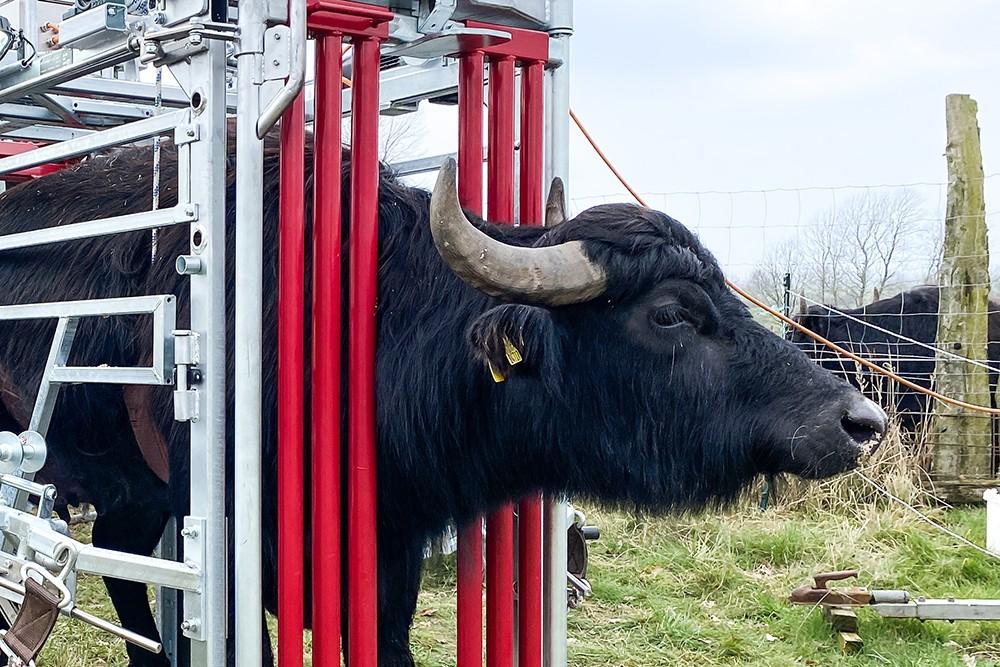 Klauenpflegestand für Rinder